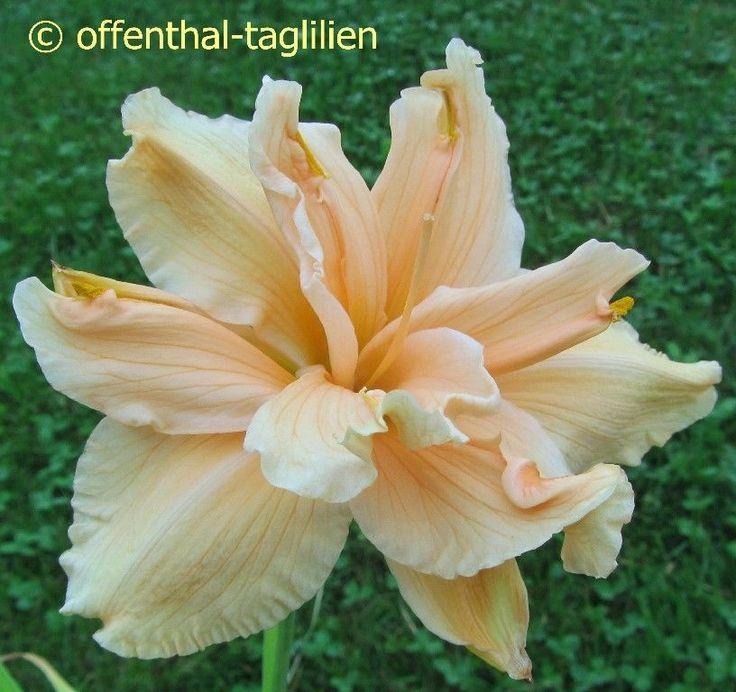 """Hemerocallis """"Scatterbrain"""" Taglilie"""