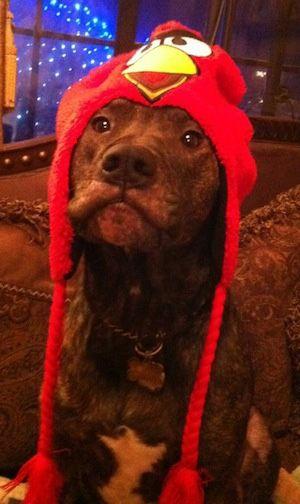 American Pit Bull Terrier, Pit Bulls, Pitbulls