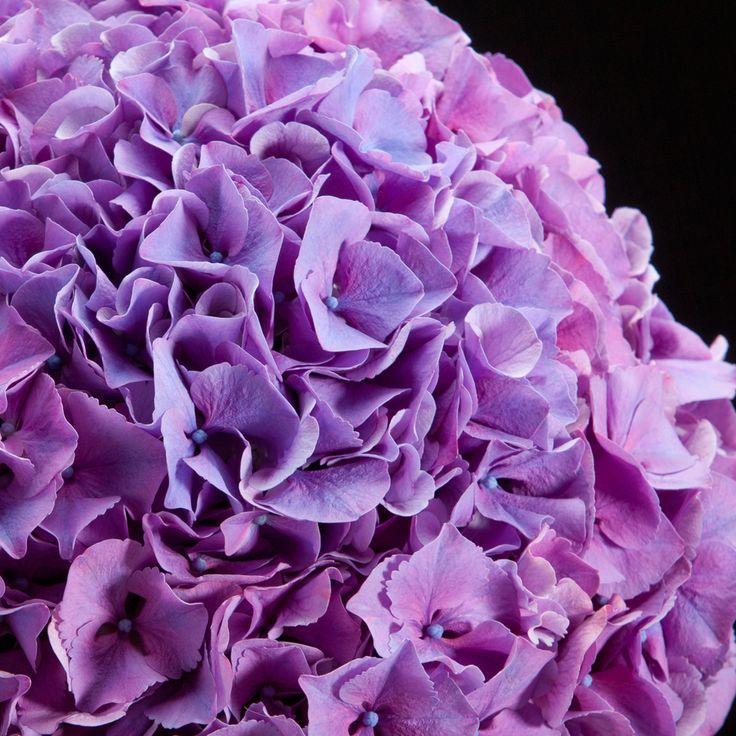 Certi Hydrangea Sibilla, snij hortensia, lila, paars, boeket, bloemen, Certi #Bloemen, #Planten, #webshop, #online bestellen, #rozen, #kamerplanten, #tuinplanten, #bloeiende planten, #snijbloemen, #boeketten, #verzorgingsproducten, #orchideeën