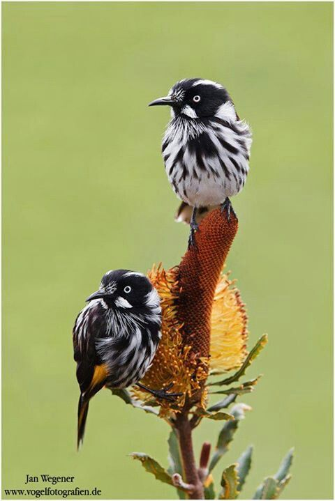 **New Holland Honeyeater, southern Australia