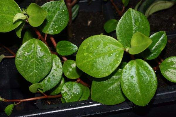 Conga - Piperaceae - Peperomia sp #DeCaliSeHablaBien