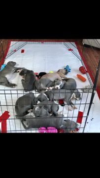 American Pit Bull Terrier puppy for sale in SOUTH LYON, MI. ADN-58957 on PuppyFinder.com Gender: Male. Age: 7 Weeks Old