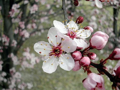 """Cherry tree flower"" flower 