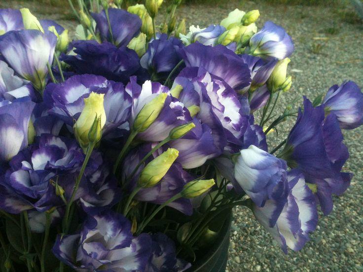 9 besten lisianthus bilder auf pinterest bl hende pflanzen garten pflanzen und lila blumen. Black Bedroom Furniture Sets. Home Design Ideas