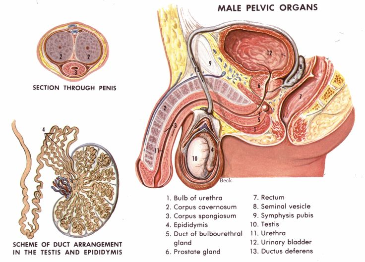 11 best Male reproductive system images on Pinterest | Nursing ...
