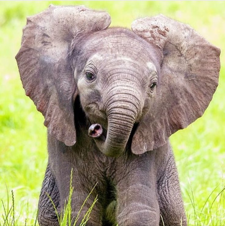 prettypachyderms:   Cutie! 😍🐘❤️ Photo from... - Cute Baby Animals