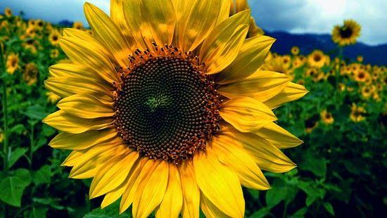 Especialistas explicam o fenômeno  que guia o movimento da planta .         O fenômeno  responsável por esse movimento é o heliotropismo ,...
