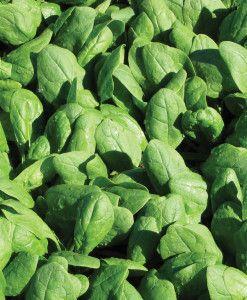 Renegade Organic Spinach Seeds