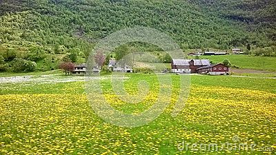 Farm in rural Norway with a field full of dandelions with yellow flowers, background of mountain and forest.