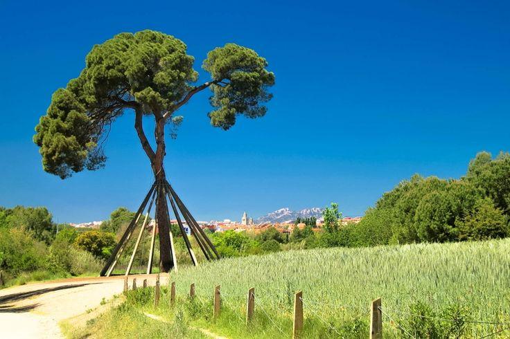 Pi d'en Xandri (cerca de Sant Cugat)