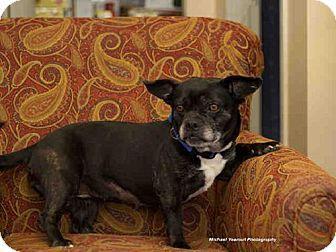 Frisco, CO - French Bulldog Mix. Meet DIAMOND, a dog for adoption. http://www.adoptapet.com/pet/17661289-frisco-colorado-french-bulldog-mix