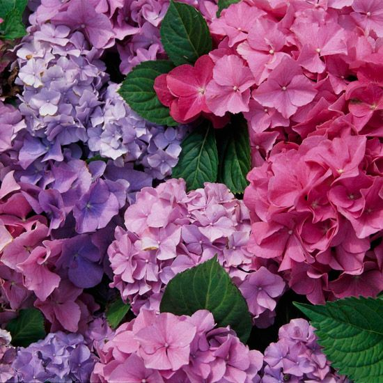 different shades of hydrangeas. From pale pink to rich salmon and light purple, the uniform grouping offers a subdued yet interesting rainbow of pastel colors.