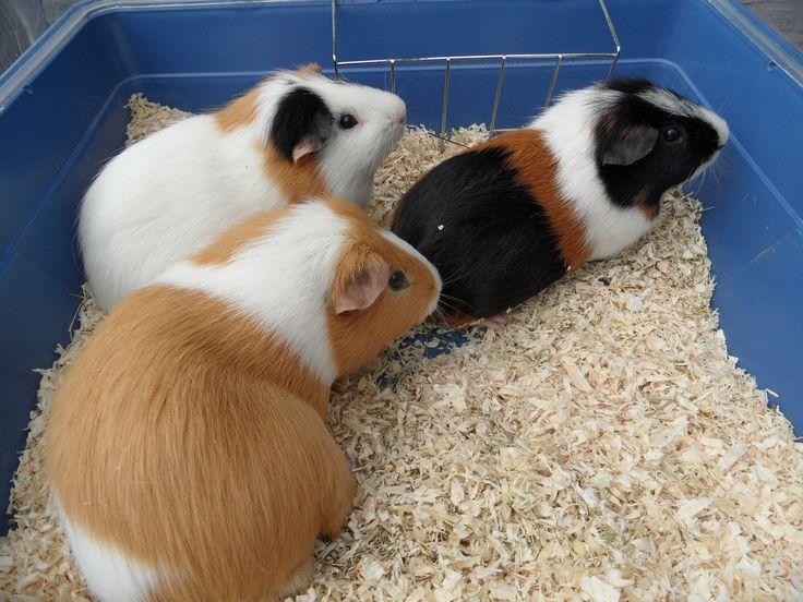 huisdieren: knuffel-cavia's