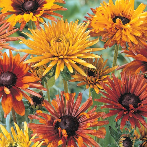 """Rudbeckia 'Summer Magic' Mix Warm up late-season borders, pots and bouquets with this sunny mix! Carefree plants bear a parade of golden-yellow, red, bronze or bicolor daisy-like flowers from midsummer to frost. Grows to 24"""" tall. Shipped in 3"""" pots. Rudbeckia 'Summer Magic' Mix"""
