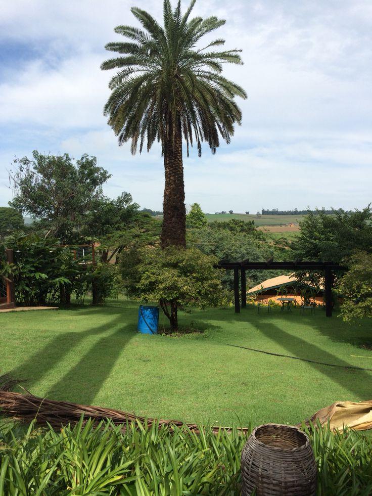 Canariense, palmeira linda marcando o gramado com uma sombra maravilhosa