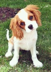 puppy eyes | king cavalier spaniel