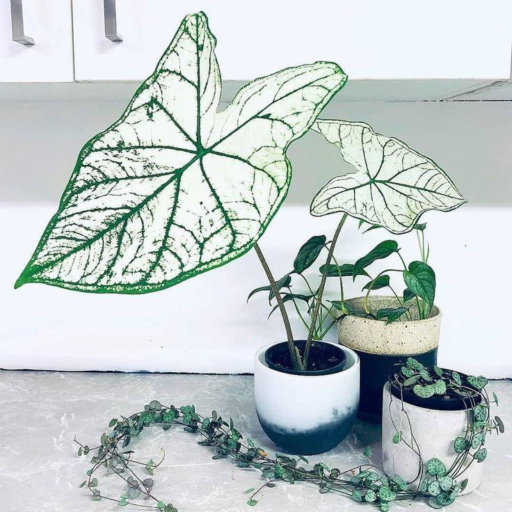 Caladium White Christmas 📷 by leaf_haus olivrahomedecor