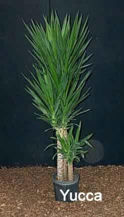 Plus de 25 id es tendance dans la cat gorie yucca plante for Bouture yucca exterieur