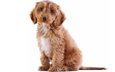 Cockapoo information including pictures, training, behavior, and care of Cockapoos and dog breed mixes.