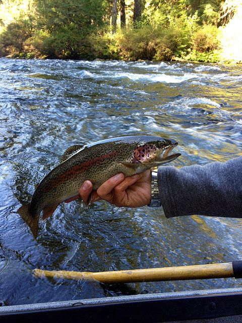 Wild trout on the upper mckenzie river by caddiseug via for Mckenzie river fishing