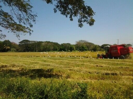 Recogiendo Arroz Valledupar Colombia