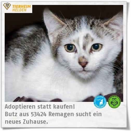 Butz wurde in Freiheit geboren und ist noch sehr ängstlich Menschen gegenüber.   http://www.tierheimhelden.de/katze/tierheim-remagen/ekh/butz/8226-1/  Für Butz sind Streicheleinheiten noch nicht der beste Teil des Tages. Es werden daher geduldige Dosenöffner gesucht. Butz wird in erste Linie in ein Zuhause vermittelt, in dem entweder bereits eine andere souveräne Katze lebt oder in das nutz zusammen mit einem Geschwisterchen oder Kumpel aus dem Tierheim Remagen umziehen kann.
