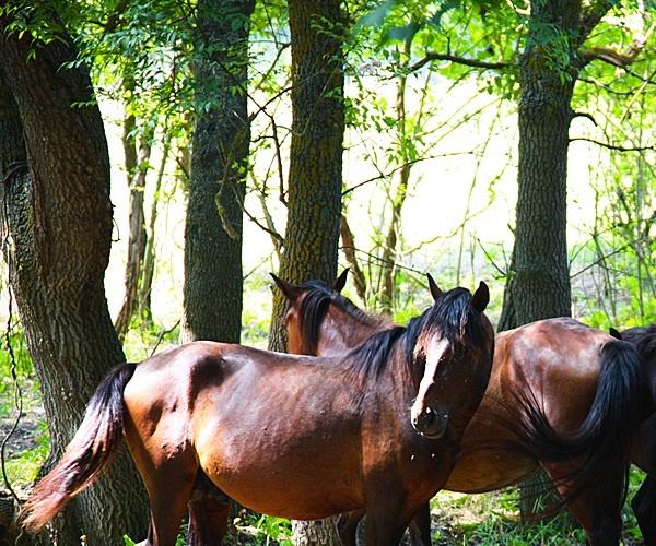Caii salbatici din padurea Letea.jpg