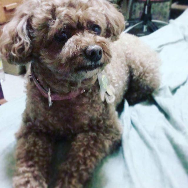 #トイプードル #トイプードル部 #POPO #poodle #toypoodle #犬 #愛犬 #dog #遠い目 #すまし顔 #冷静沈着 #カメラ見ない主義