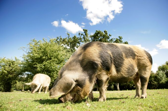 Pannage In The New Forest | See The New Forest Pigs This Autumn