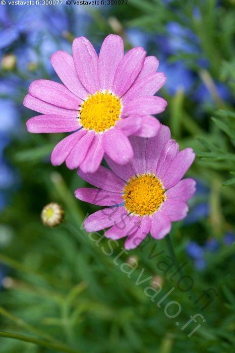 Vaaleanpunaiset päivänkakkarat - vaaleanpunainen päivänkakkara kesäkukka koristekasvi kukka kukinto…