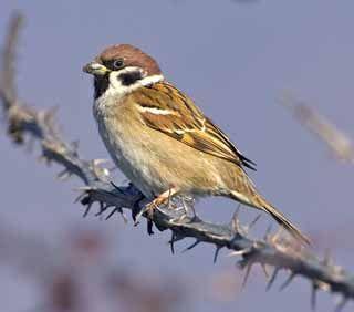 Pikkuvarpunen, Passer montanus - Linnut - LuontoPortti