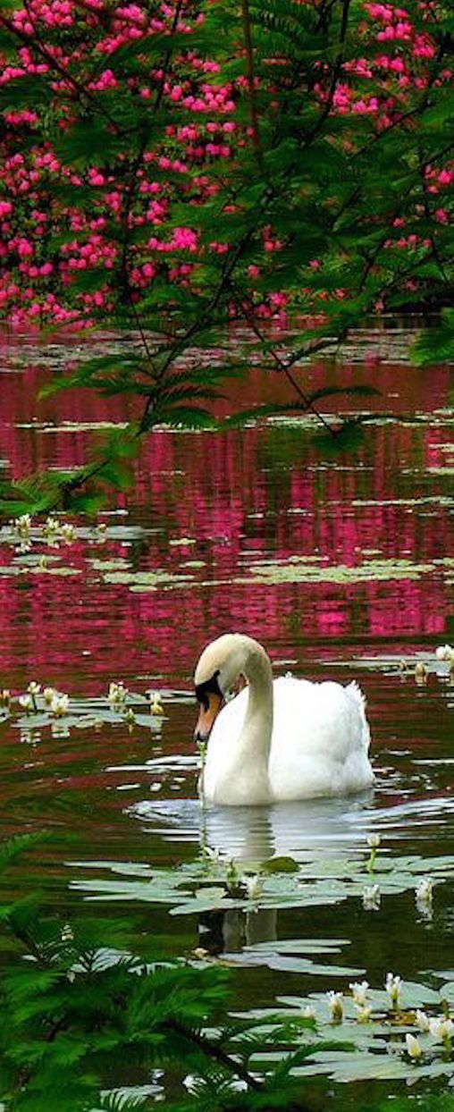 A Swan in Sheffield Park, Sussex, England.