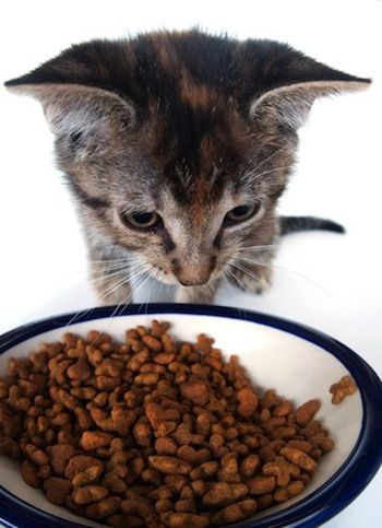 What Is the Best Cat Food – and How to Choose? And foods dangerous for cats to eat!