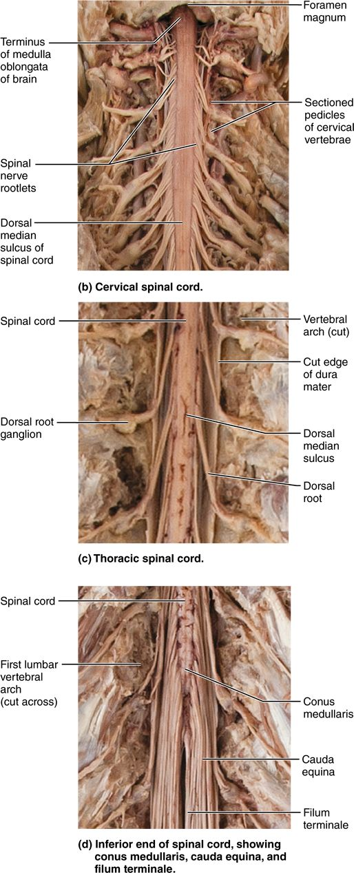 12.10 The spinal cord is a reflex center and conduction