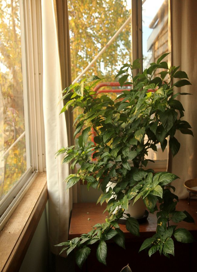 So you want to grow chili peppers indoors. | Saltbush Avenue
