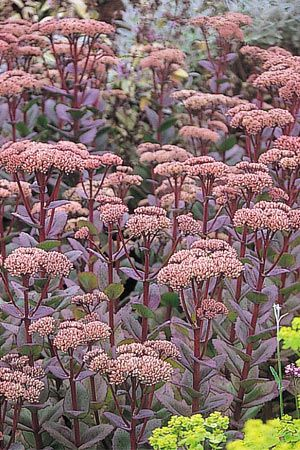 Sedum Matrona: Tall variety, and a striking contrast to silver and green in the landscape.