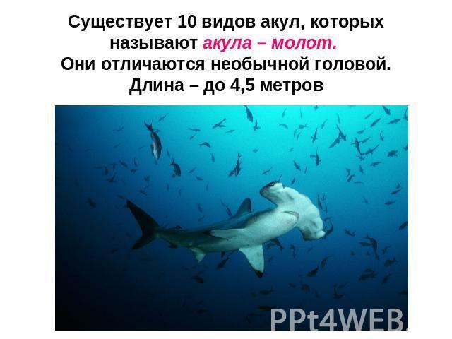 Существует 10 видов акул, которых называют акула – молот. Они отличаются необычной головой.Длина – до 4,5 метров