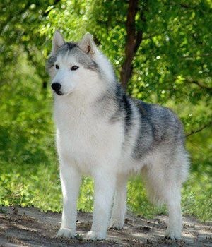 Siberian Husky Temperament:	Gentle, Intelligent, Outgoing, Alert, Friendly