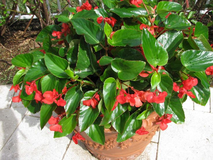 Dragon wing begonias are so easy care plant them with for Easy care plants for pots