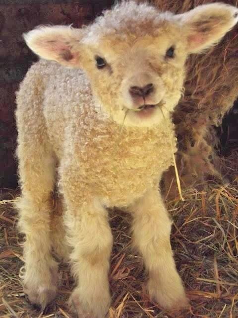 My next dog will look like a baby lamb!