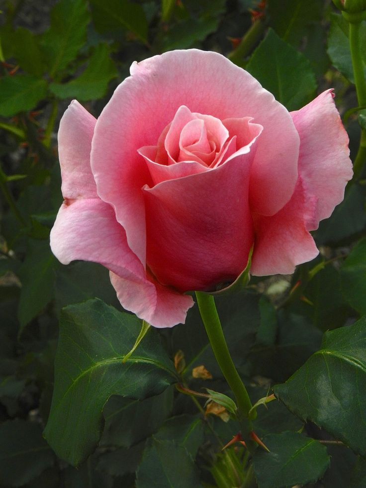 'Bewitched' | Hybrid Tea Rose. Bred by Dr. Walter E. Lammerts (United States, 1967). | Flickr - © outdoorPDK