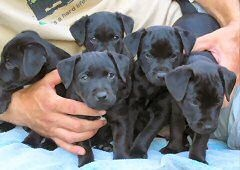 patterdale terrier pups....can't wait for Duchess and Poppy to have some!