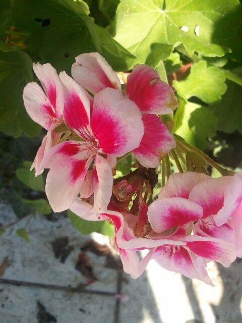 17 migliori immagini su my garden su pinterest gelsomino - Geranio giallo ...