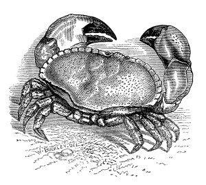 crab clip art, black and white clipart, vintage crab engraving, sea crustacean illustration, cancer pagurus crab image