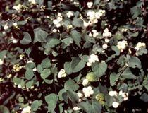 Symphoricarpos albus var.VALKOLUMIMARJA