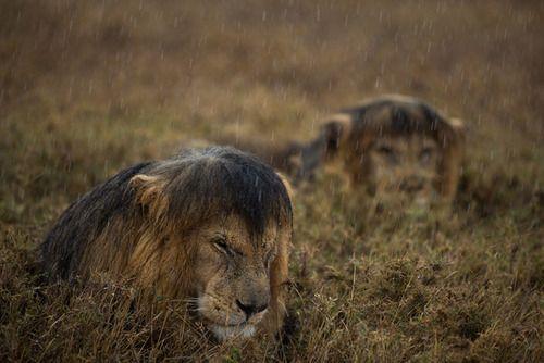 Serengeti lions in the rain by Michael Nichols