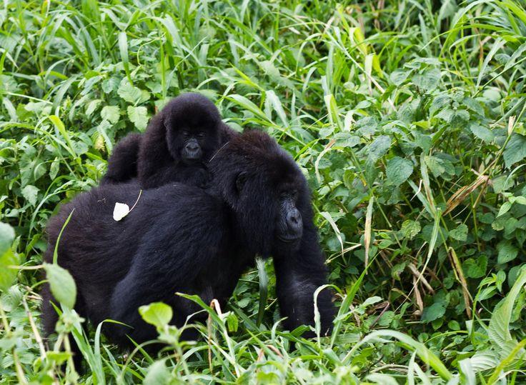 Gorilla di montagna con il suo piccolo.  Immagine reperita su google.