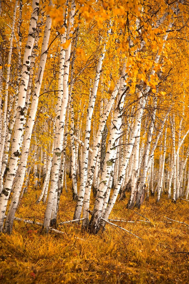 Autumn birch forest - Autumn birch forest in the forests of Siberia.