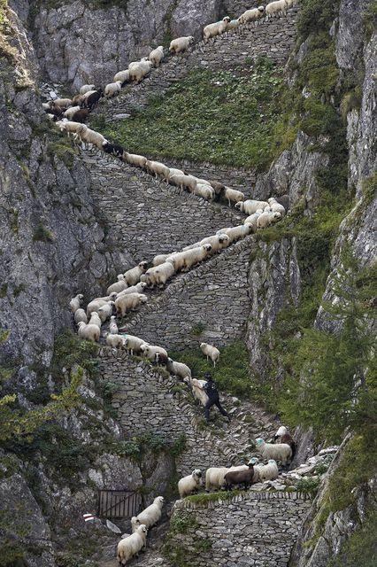 移動するヒツジの群れ