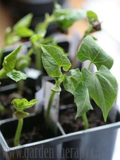 17 best images about if i could have a green thumb on for Indoor gardening green beans